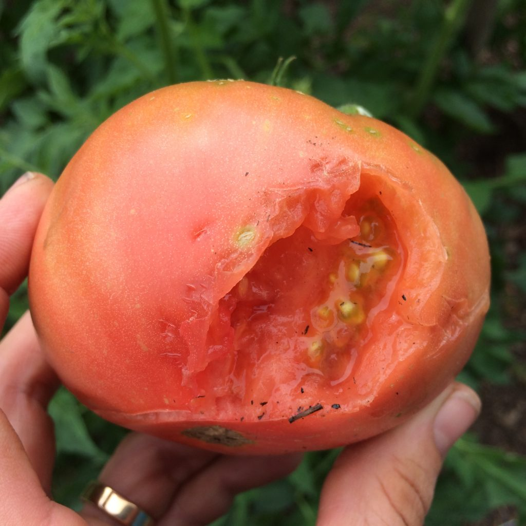 munched tomato