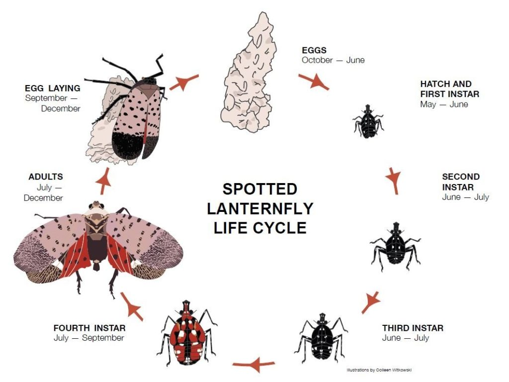 Spotted Lantern Fly life stages